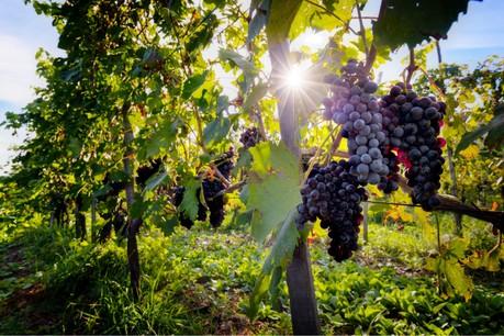 Les jeunes vignes sont vulnérables à la canicule du fait de leurs racines moins profondes. (Photo: Shutterstock)
