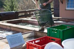 Il est possible d'observer toutes les étapes de l'élevage de truites à la Forellenhof Buhlbach. (Hadrien Friob / Maison Moderne)