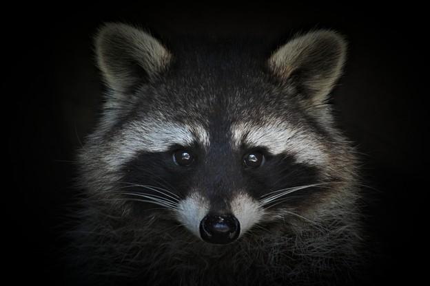 Comme le veut la légende du raton laveur, le virus Raccoon est capable de voler toutes les informations sur 24browsers et une soixantaine d'applications. (Photo: Shutterstock)